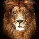 lion狮子